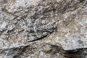 Knot Grass (Acronicta rumicis) moth camouflaged on rock, Peak District National Park, Derbyshire, UK. June.  -  Alex  Hyde