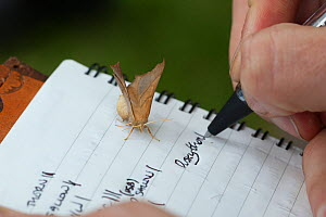 Person writing notes at moth trapping event, with Dusky Thorn moth (Ennomos fuscantaria) on paper. The National Forest, Leicestershire, UK. September. - Alex  Hyde