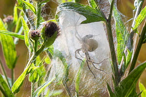 Nursery Web Spider (Pisaura mirabilis) mother in nursery web in meadow, with the spherical egg mass that she is guarding visible. Peak District National Park, Derbyshire. UK. August. - Alex  Hyde