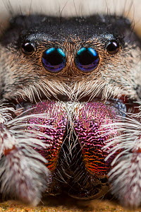 Regal Jumping Spider (Phidippus regius) female. Captive, occurs in North America.  -  Alex  Hyde
