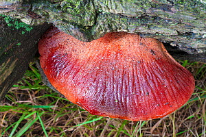 Beefsteak fungus (Fistulina hepatica)  bracket fungus growing on English Oak tree (Quercus robur). Derbyshire, UK. September.  -  Alex  Hyde