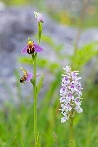 Bee Orchid (Ophyris apifera) and Common Spotted Orchid (Dactylorhiza fuchsii) growing in close proximity. Peak District National Park, Derbyshire, UK. June.  -  Alex  Hyde