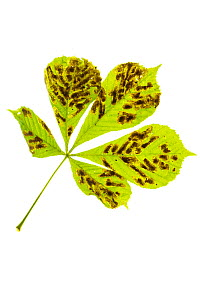 Horse Chestnut leaves (Aesculus hippocastanum) infected with Leaf Miner Moth (Cameraria ohridella) on a white background. Peak District National Park, Derbyshire, UK. July. This insect is an invasive...  -  Alex  Hyde