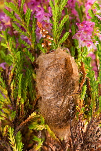 Emperor Moth cocoon (Saturnia pavonia) in Ling Heather (Calluna vulgaris). Peak District National Park, Derbyshire, UK. August.  -  Alex  Hyde