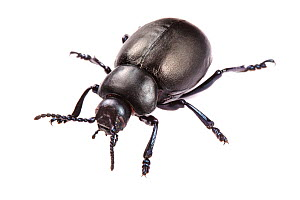 Bloody-nosed Beetle (Timarcha tenebricosa) on white background in a mobile field studio. Devon, UK. June.  -  Alex  Hyde