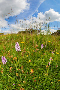 Common Spotted Orchids (Dactylorhiza fuchsii) and Bee Orchid (Ophyris apifera) in lowland calcareous grassland habitat. Peak District National Park, Derbyshire, UK. June. Taken with fisheye lens.  -  Alex  Hyde