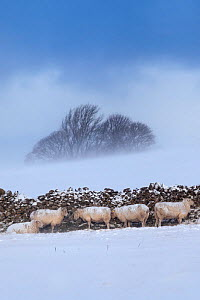 Sheep sheltering from a snow behind a stone wall, Peak District National Park, Derbyshire, UK. March. - Alex  Hyde