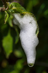 Cuckoo-spit, a protective foam secreted by the nymph of the Common froghopper (Philaenus spumarius). Devon, UK. June.  -  Alex  Hyde