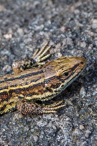 Common Lizard (Lacerta vivipara) close up of head, basking on rock. Peak District National Park, Derbyshire, UK. August.  -  Alex  Hyde