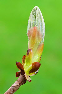 Horse Chestnut (Aesculus hippocastanum) bud. Peak District National Park, Derbyshire, UK. April.  -  Alex  Hyde