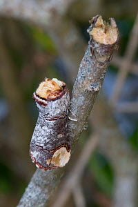 Buff-tip Moth (Phalera bucephala) camouflaged on a twig. Devon, UK. June. - Alex  Hyde