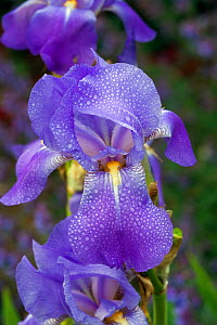Iris flower (Iris sp.) after rain, Norfolk, UK, June.  -  Ernie  Janes
