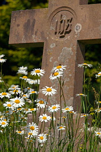 RF- Ox-eye daises (Leucanthemum vulgare) growing in Churchyard. Norfolk, UK, May. (This image may be licensed either as rights managed or royalty free.)  -  Ernie  Janes
