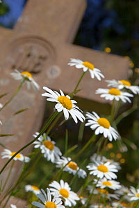 Ox-eye daises (Leucanthemum vulgare) growing in Churchyard. Norfolk, UK, May.  -  Ernie  Janes