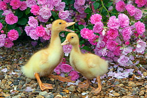 Two domestic ducklings at a week old. UK, June. - Ernie  Janes