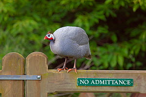 Domestic Guineafowl (Numida meleagris) perched on gate. Norfolk, UK, June. - Ernie  Janes