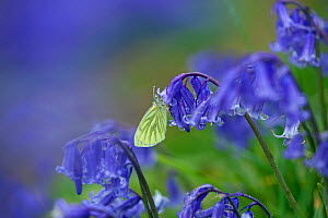 Green-veined white (Pieris napi) resting on bluebell (Hyacinthoides non-scripta) in wet weather. UK, April. - Ernie  Janes