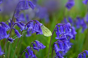 RF- Green-veined white (Pieris napi) resting on bluebell (Hyacinthoides non-scripta) in wet weather. UK, April. (This image may be licensed either as rights managed or royalty free.) - Ernie  Janes