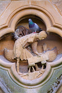 Feral pigeon (Columba livia) on the West front of Wells Cathedral, Somerset, UK, April. - Ernie  Janes