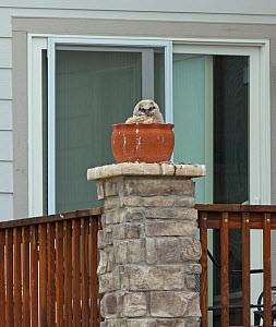 Great horned owl (Bubo virginianus), large chick in nest in a plant pot outside house, Aurora, May.  -  Charlie  Summers