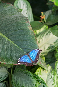 Blue morpho butterfly (Morpho peleides). Captive. Occurs in Central and South America.  -  Adrian Davies