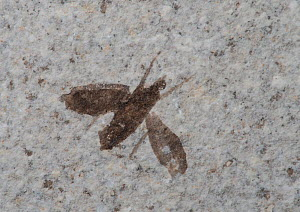 Fossilised March fly (Plecia pealei). Eocene, 37 to 58 million years old. From Fossil Lake F-2, Green River Formation, near Kemmerer, Wyoming. - Adrian Davies