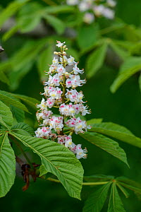 Horse chestnut tree  (Aesculus hippocastanum) flowers in spring. Surrey, England, April.  -  Adrian Davies