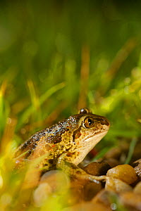 Common spadefoot (Pelobates fuscus), France, May. - Bert  Willaert