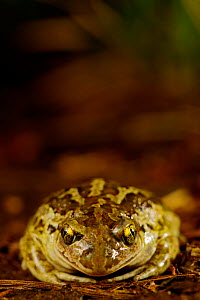 Common spadefoot (Pelobates fuscus), front view, France, May. - Bert  Willaert