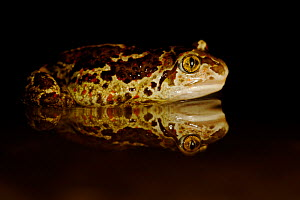 Common spadefoot (Pelobates fuscus) in water with reflection, France, May. - Bert  Willaert