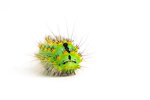 Emperor Moth caterpillar (Saturnia pavonia) late instar, aged 4-5 weeks.  -  Chris  Mattison