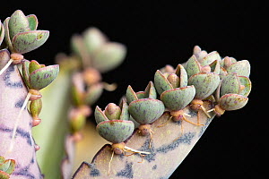 """Mexican hat plant, or """"Mother-of-thousands"""" (Bryophyllum daigremontianum) showing adventitious plantlets developing along edge of leaf, a form of vegetative reproduction.  -  Chris  Mattison"""