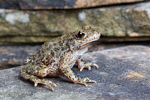 Common Midwife Toad (Alytes obstetricans) from a naturalised colony in South Yorkshire / Nottinghamshire, UK. May.  -  Chris  Mattison
