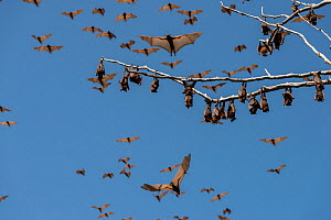 Little red flying-foxes (Pteropus scapulatus) roosting on inland white mahogany, part of large colony (estimated to peak at about 100,000 bats) that took up residence in early December 2013, Wild Rive... - Jurgen Freund
