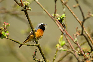 Redstart (Phoenicurus phoenicurus) adult male singing, UK, May. - Mark  Hamblin
