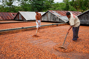 Cocoa (Theobroma cacao) workers on cocoa farm with tools turning naturally drying beans, Ilheus, Brazil, December. - Ingo Arndt