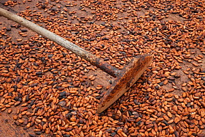Cocoa (Theobroma cacao) tool for turning naturally drying beans, Ilheus, Brazil.  -  Ingo Arndt