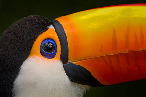 Toco Toucan (Ramphastos toco) captive, from South America.  -  Ingo Arndt
