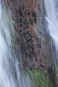 Great Dusky Swifts (Cypseloides senex) perched on cliff in front of waterfall, Iguazu National Park, Brazil, January 2014.  -  Ingo Arndt