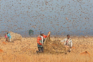 People catching Migratory locusts (Locusta migratoria capito) for human consumption with mosquito nets at early morning when they can not fly long distances. Near Isalo National Park, Madagascar. Augu...  -  Ingo Arndt
