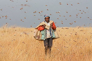Farmer with bags of Migratory locusts (Locusta migratoria capito) collected for human consumption using mosquito nets in early morning when they can not fly long distances, near Isalo National Park, M...  -  Ingo Arndt