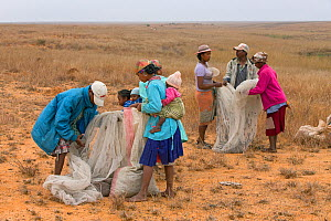People loading Migratory locusts (Locusta migratoria capito)  into plastic sack for transport. Caught for human consumption using mosquito nets in early morning when they can not fly long distances, n...  -  Ingo Arndt