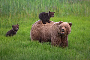 Grizzly Bear / Coastal Brown Bear (Ursus arctos horribilis) mother with two spring cubs, one riding on her back, Lake Clark National Park, Alaska, USA. June. - Ingo Arndt