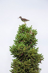 Lesser Yellowleg (Tringa flavipes) perched on conifer tree Alaska, USA. June 2013.  -  Ingo Arndt
