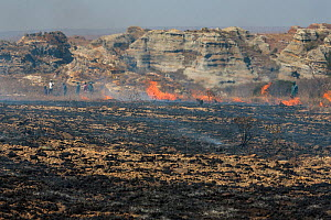 Fire set by farmer to kill migrating locusts (Locusta migratoria capito). Very often the fire gets out of control and destroys many hectares of grassland. Near Isalo National Park, Madagascar. August...  -  Ingo Arndt