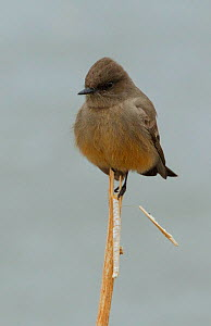 Say's Phoebe (Sayornis saya) perching a twig, Bosque del Apache, New Mexico, USA, December.  -  Charlie  Summers
