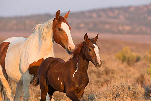 Wild Mustang pinto mother and foal, Sand Wash Basin Herd Area,  Colorado, USA.  -  Carol Walker