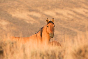 Wild Mustang, dun horse resting, Sand Wash Basin Herd Area,  Colorado, USA.  -  Carol Walker