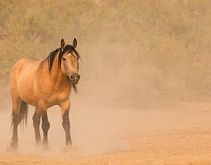 Wild Mustang, dun horse in dust. Sand Wash Basin Herd Area,  Colorado, USA.  -  Carol Walker