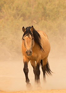 Wild Mustang, dun horse in dust, Sand Wash Basin Herd Area,  Colorado, USA.  -  Carol Walker